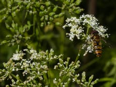 Hoverflies use sun and body clock to navigate when they fly south for winter