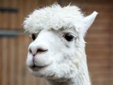 Anticorps de lama «parmi les agents neutralisants Covid les plus efficaces», PHE dit