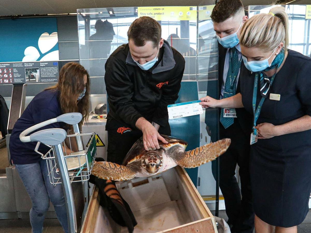 絶滅危惧種のカメがアイルランドで洗い流された後、カナリア諸島に戻る飛行機に乗る