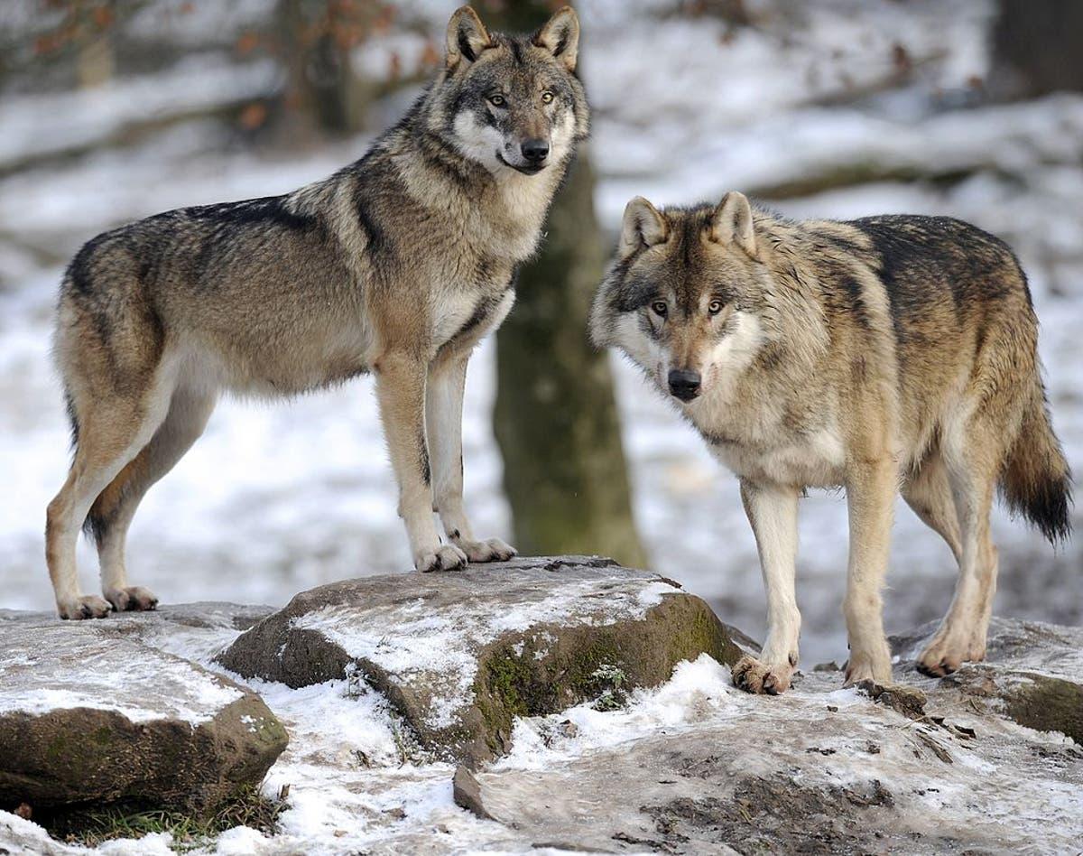 Native American stammer saksøker for å stoppe grå ulvejakt