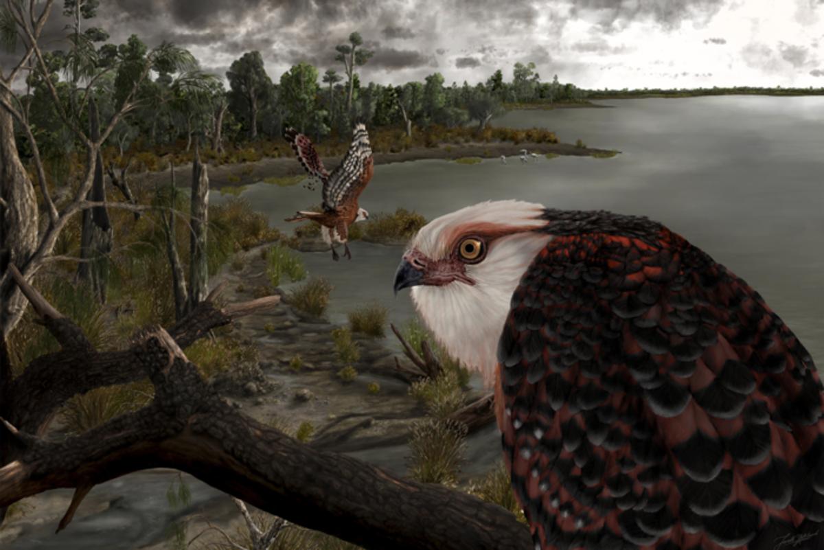 Koala-hunting eagles terrorised Australia 25 million years ago