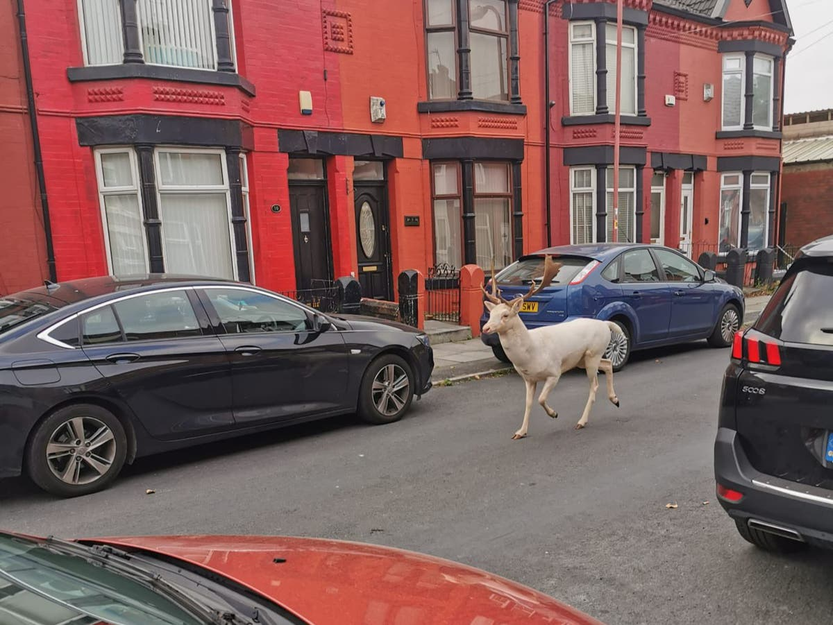 Rare white stag killed by police after running through Merseyside