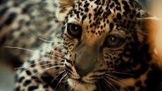 First photos of Saudi's new Arabian leopard cub