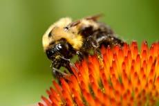 American bumblebee populations plummet 90 prosent