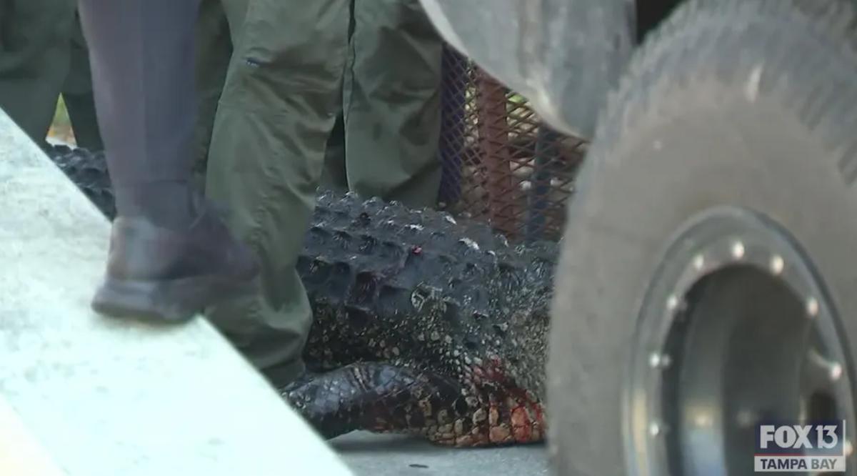 Vrou ernstig beseer nadat sy deur 'n groot krokodil in Florida aangeval is