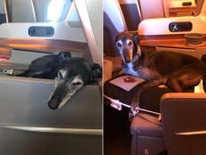 Dog enjoys business class seat on Singapore Airlines flight