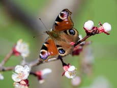 Butterfly numbers plummet to record low in UK