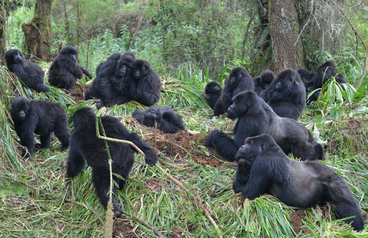Gorillas socially distancing prevents illness spreading, studiefunn