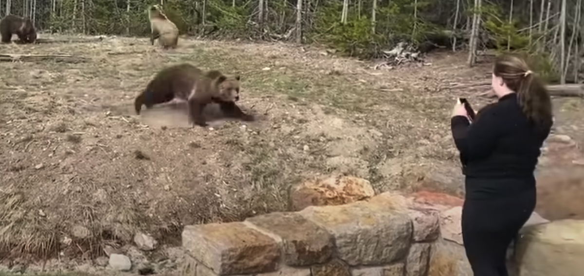 Woman jailed after narrow escape from charging grizzly mother in Yellowstone