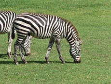 One of the zebras that escaped from a farm in Maryland has died while two others remain on the loose