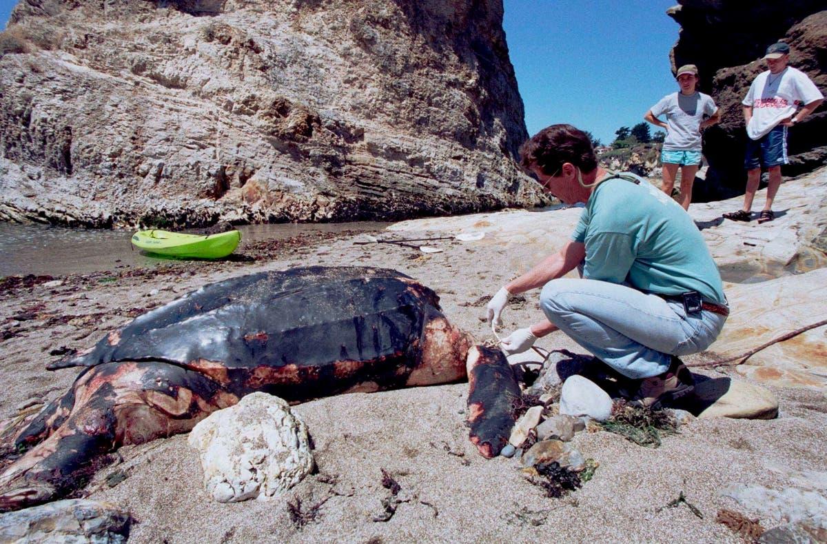 カリフォルニアはオサガメの新しい保護を承認します