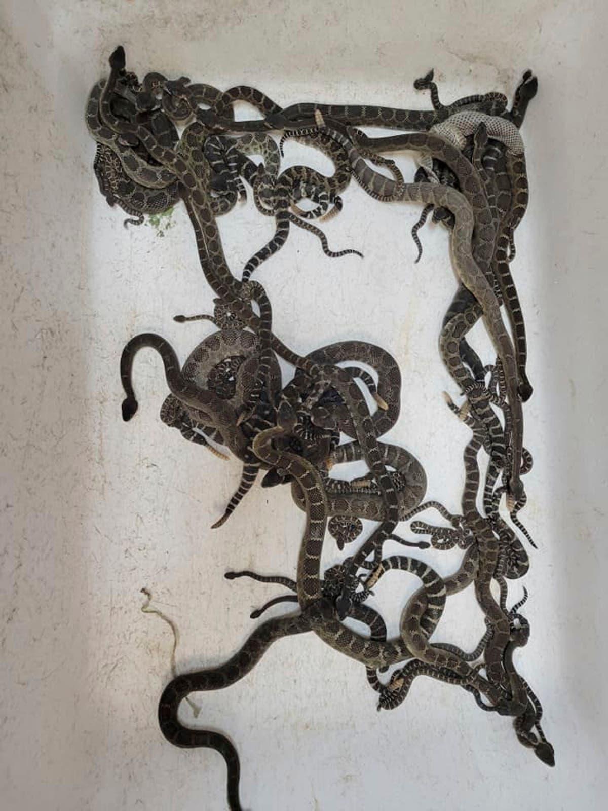 多于 90 在北加州家下发现的蛇