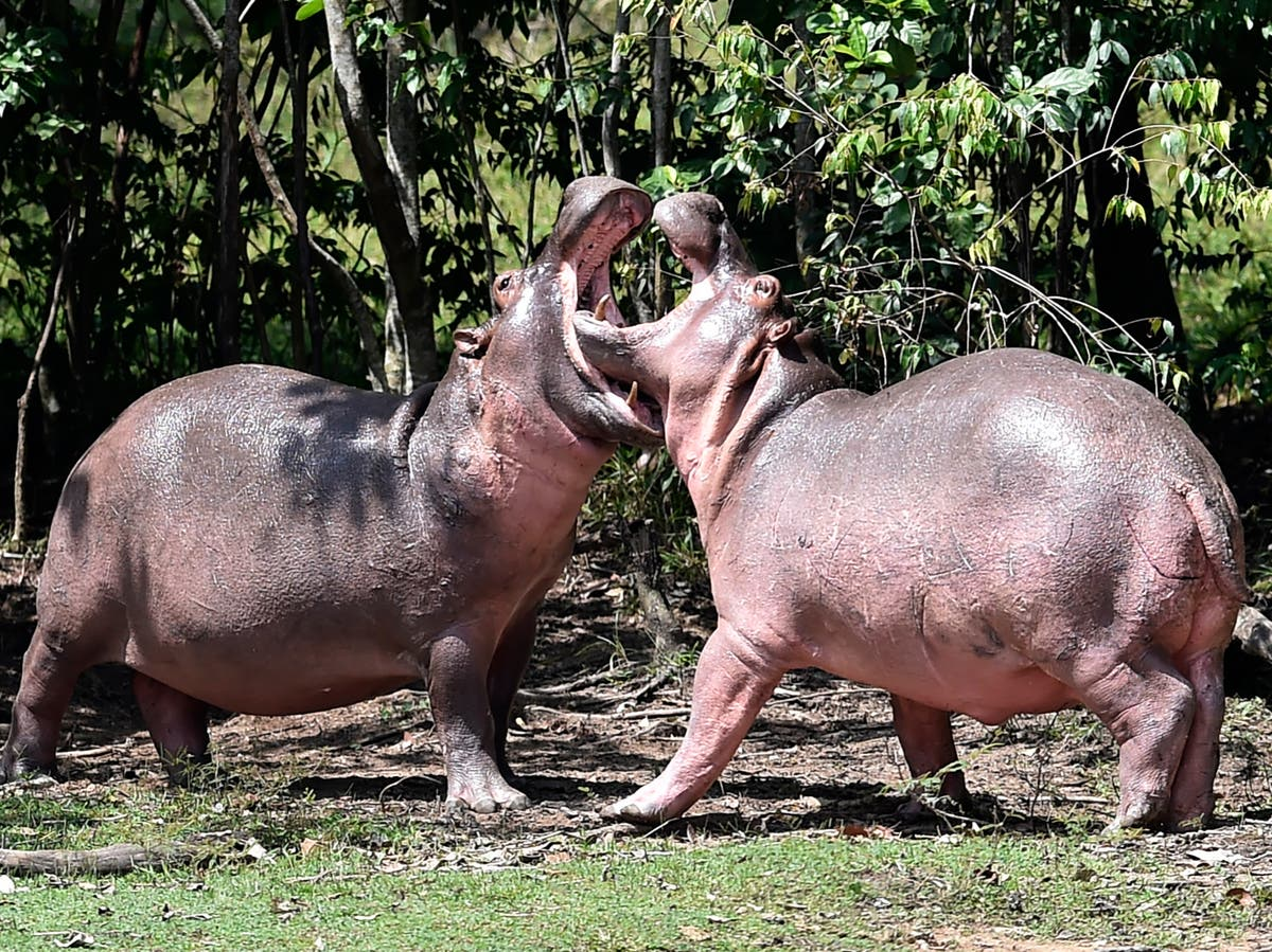 Colombia sterilises drug lord Pablo Escobar's 'cocaine hippos'