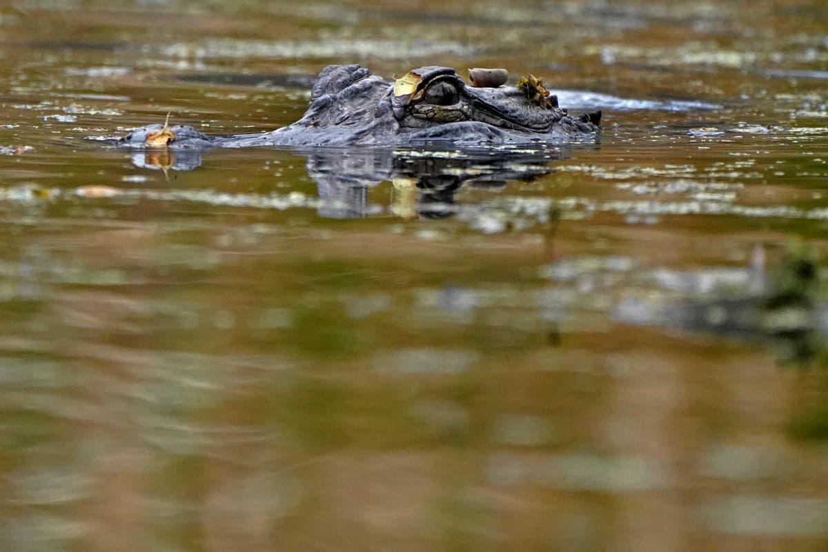 Louisiana gators thrive, so farmers' return quota may drop