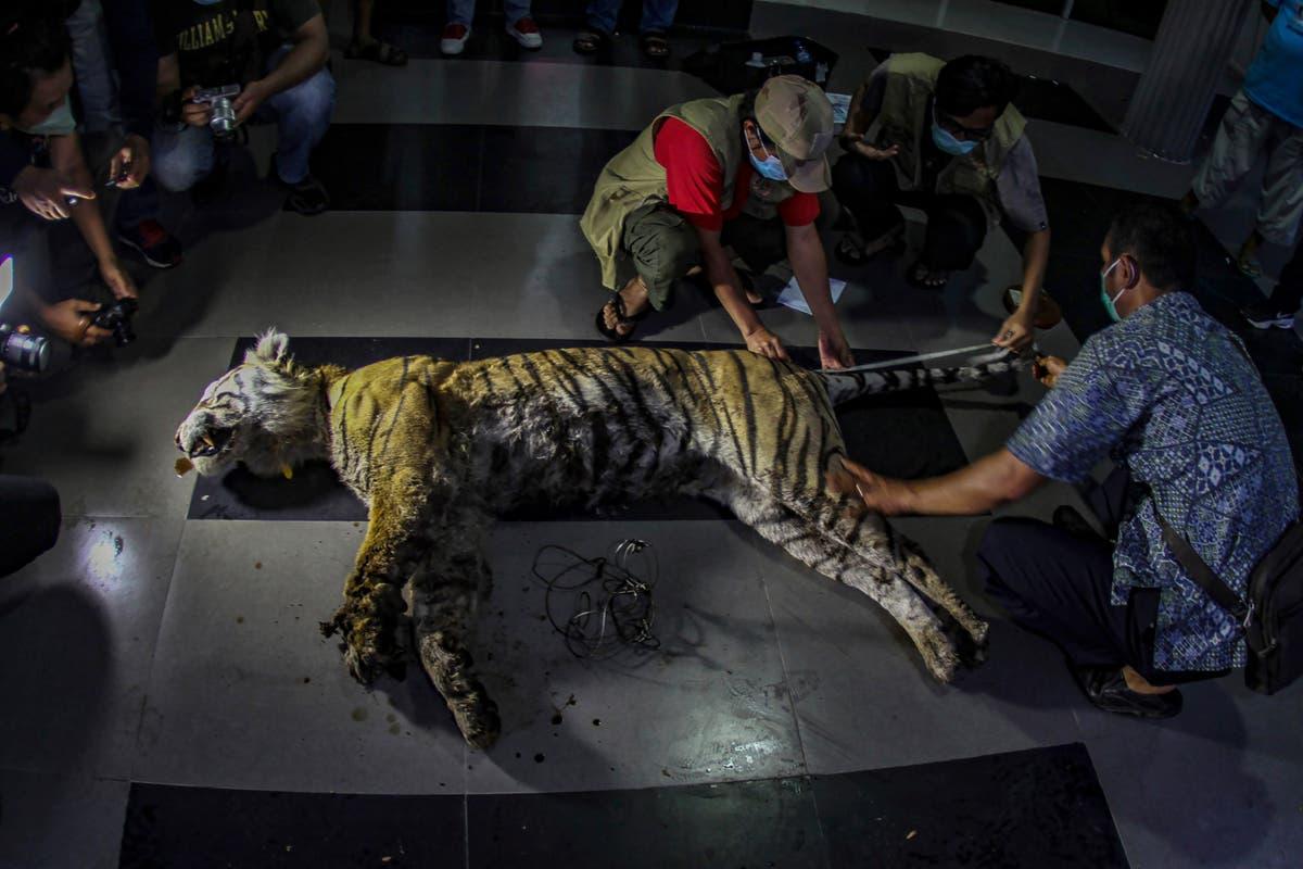 Rare Sumatran tiger found dead in animal trap in Indonesia