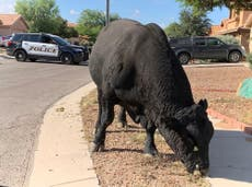 Arizona police and local ranchers help catch a roaming bull