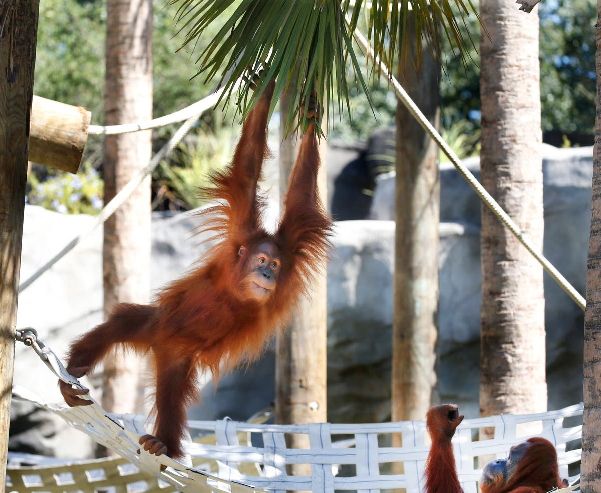 Endangered orangutan in New Orleans expecting twins