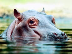 US court recognises animals as legal persons in wrangle over Pablo Escobar's hippos