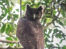 見られない巨大なフクロウ 150 初めて野生で描かれた年