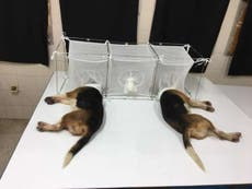 'Cruel' puppy experiment was 'mistakenly' linked to US health agency