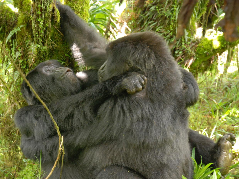 Секс бесплатно с гориллами 2 фотография