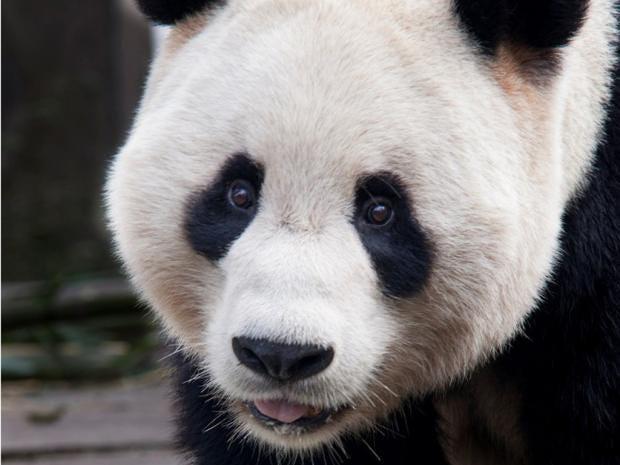 25-Panda-AP.jpg