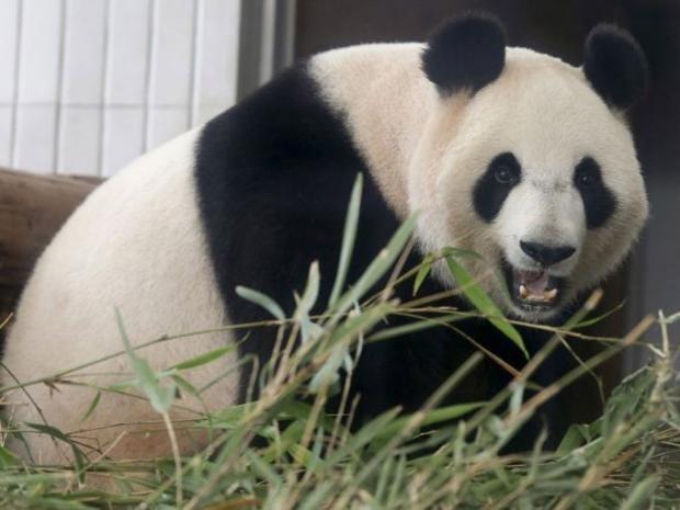 panda-ap.jpg