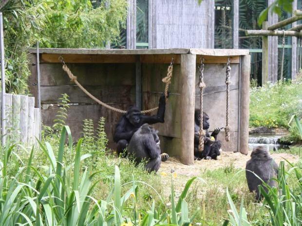 Image-5---Gorilla-family-in.jpg