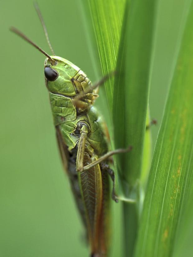pg-15-grasshoppers.jpg