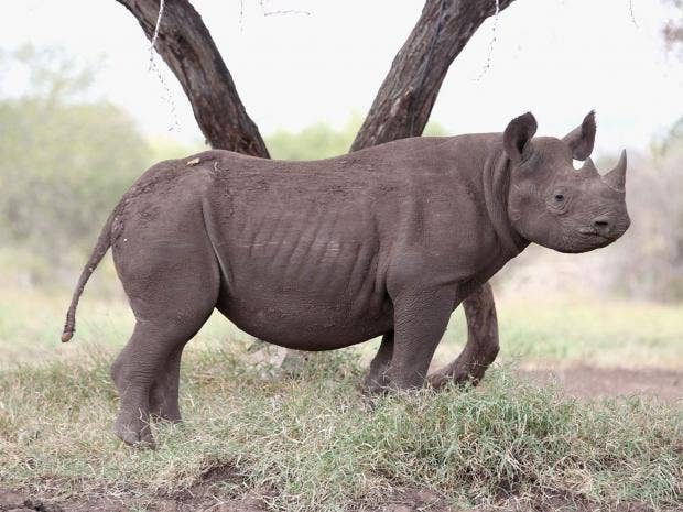 Picture of rhinos penis