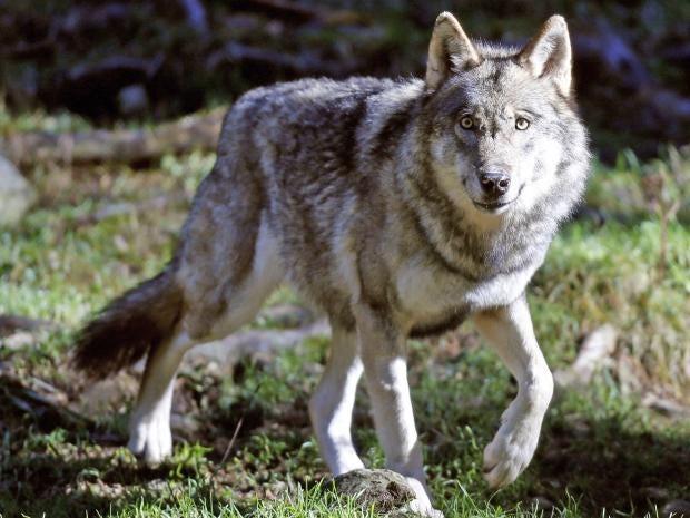 pg-42-wolves-berlin-getty.jpg