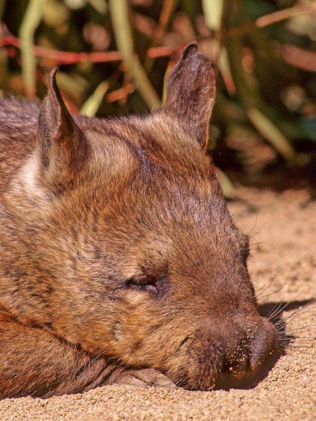 38-wombatsplants-alamy.jpg