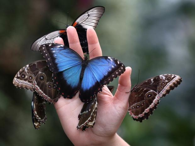butterflies-gt.jpg