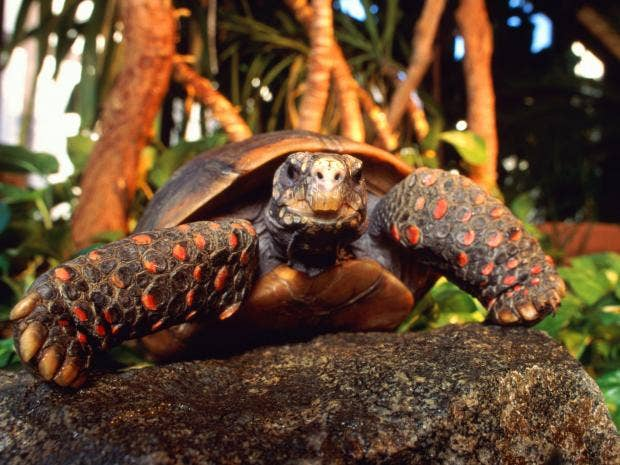 red-footed-tortoise.jpg