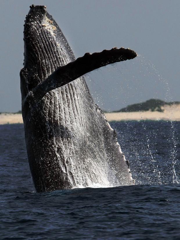 whale-ap.jpg