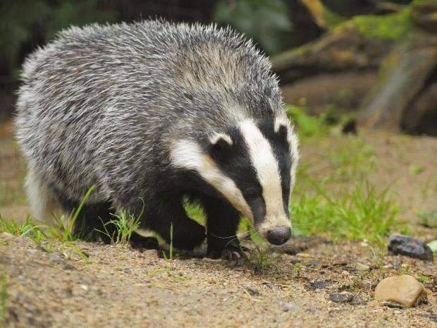 home-badger-getty.jpg