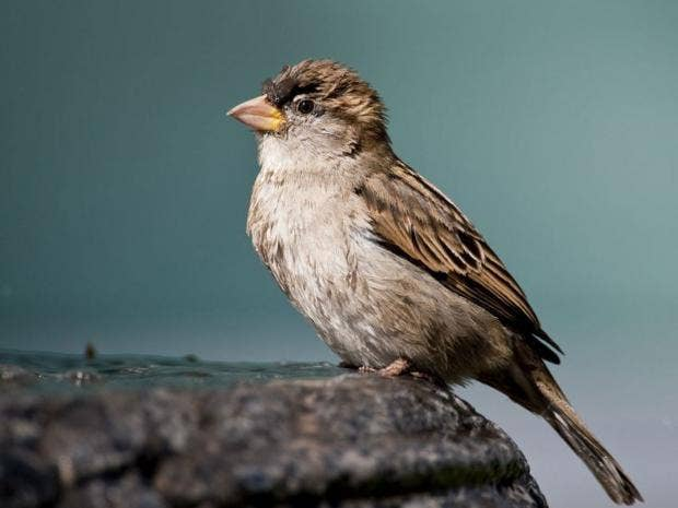 home-sparrow-getty.jpg