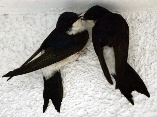 swallows-gt.jpg