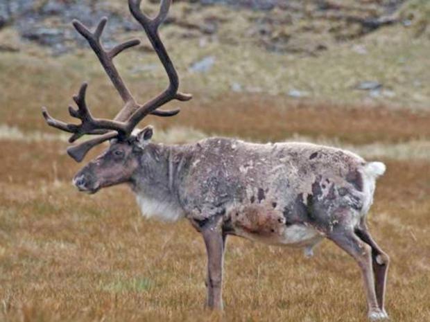 reindeer-south-georgia.jpg