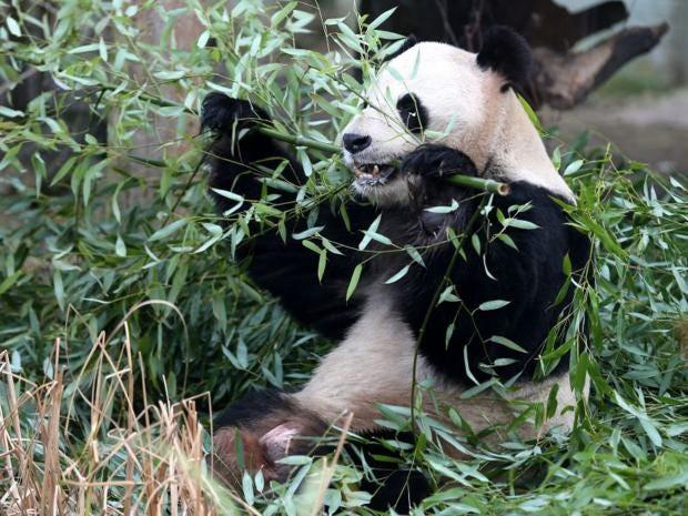 panda.pa.jpg