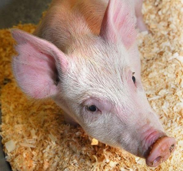 Pig26-3324374034900963489.jpg