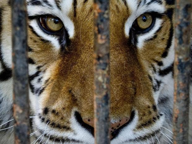 tiger-epa.jpg