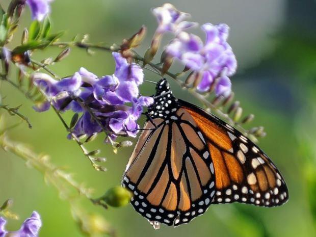 IN18182812A-Monarch-butterf.jpg