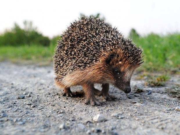 hedgehog-getty.jpg