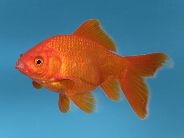 goldfish-rex.jpg