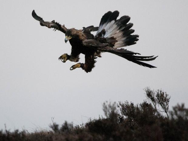 golden-eagle-rex.jpg