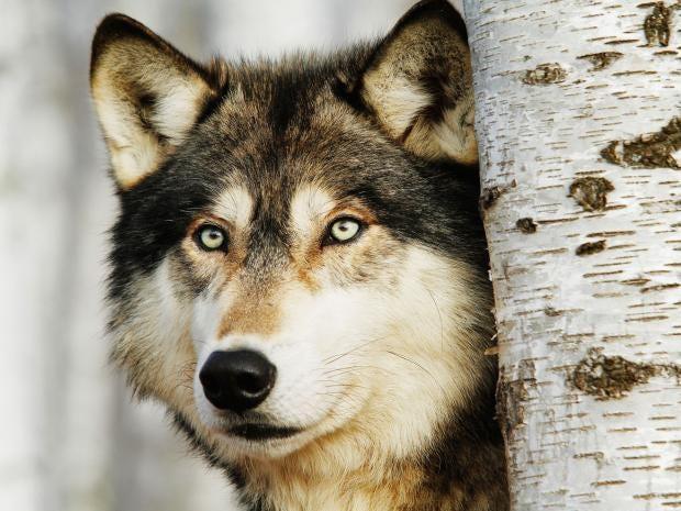 wolf-alamy.jpg