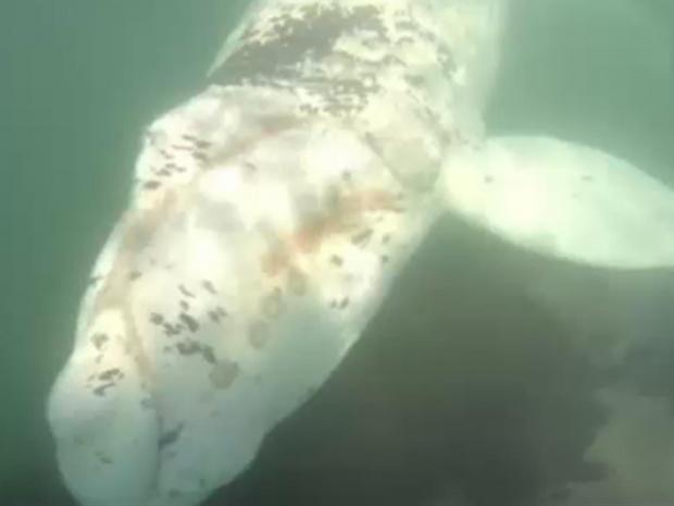 albino-whale.jpg