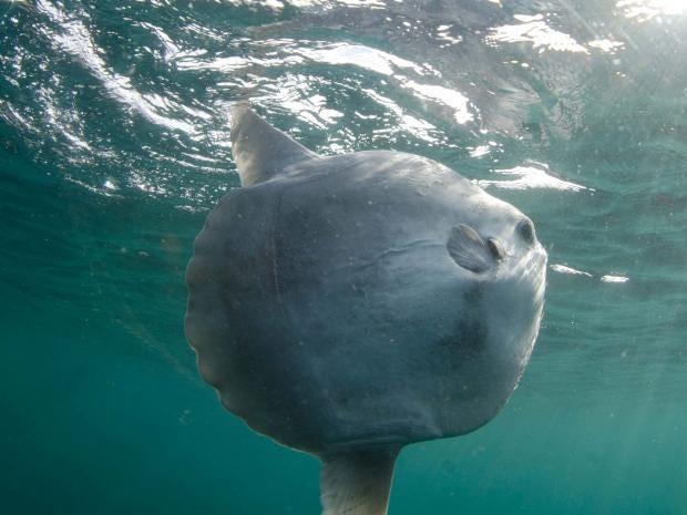 sunfish-richard-morton.jpg