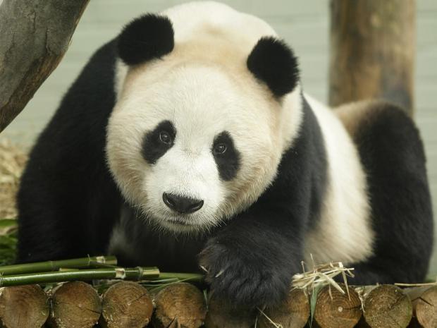 web-panda-pa.jpg